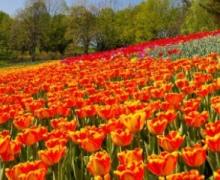 Завтра в Киеве откроется выставка тюльпанов