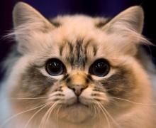 В Киеве пройдет выставка кошек RUI Cat Show 2012