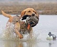 Под Киевом прошли соревнования лучших охотничьих собак