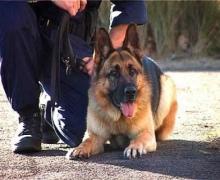 Помогать милиции обеспечивать порядок будут служебные собаки