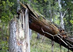 Болельщик из Полтавы сломал в Киеве дерево