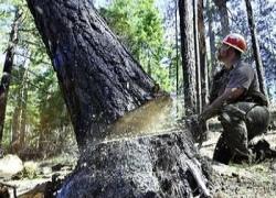 Штрафы за незаконную вырубку леса могут вырасти впятеро