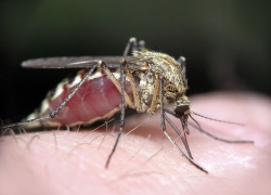 Жителей Киева комары заражают дирофиляриозом