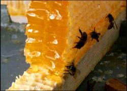 Пчелы приглашают на Медовый Спас в Киеве