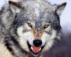 В киевском зоопарке волчица напала на смотрительницу