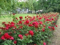 Оболонь станет районом роз