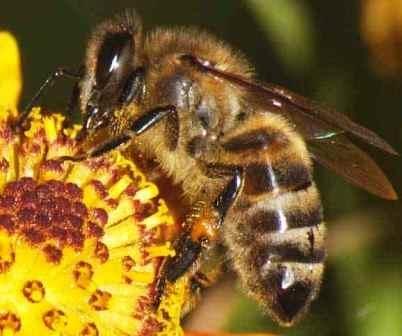 Осторожно: в Киеве на деревьях живут пчелы