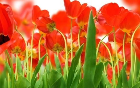 Как заказать тюльпаны в Киеве