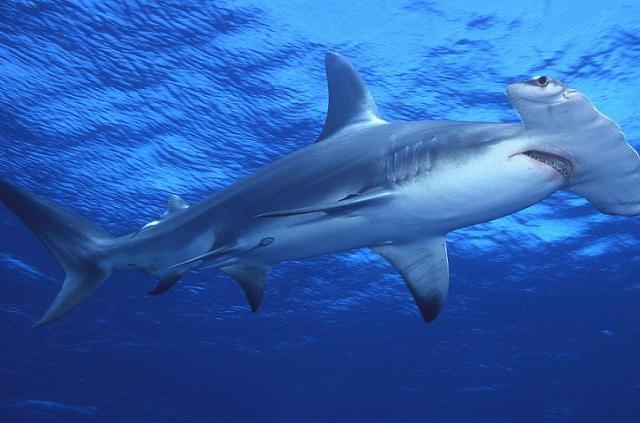 """Новая акула-лопата в """"Ocean Plaza"""" тоже погибла? Ее могли убить"""