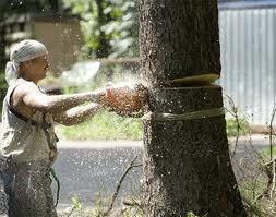 Киевлянка заплатила 116 тыс. грн за восстановление деревьев