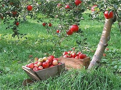 В Киеве появится яблоневый сад