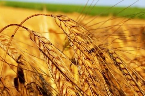 Обзор рынков зерновых и масличных культур Украины