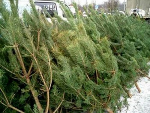 Киевские ГАИшники задержали водителя с контрабандой елок