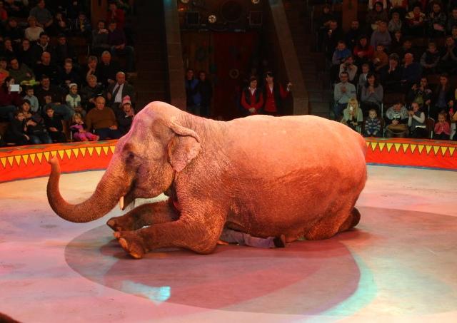 В киевский цирк приехали слоны-великаны