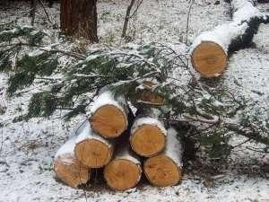 На Теремках неизвестный срубили деревья на 150 тыс. грн