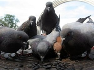 На Крещатике прохожие фотографируются с больными голубями