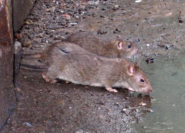 На Майдане появились крысы