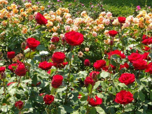 Милиция поймала попрошаек, которые воровали розы на цветниках
