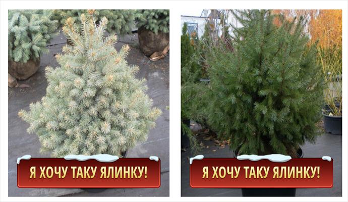 В Киеве можно купить новогоднюю красавицу в горшке