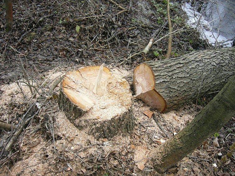 Горвласти хотят увеличить размеры штрафов за уничтожение деревьев