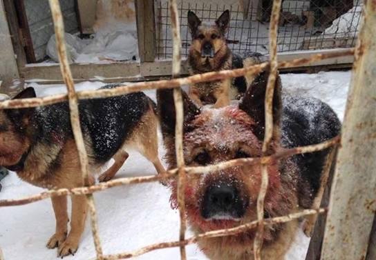Под Киевом собаки насмерть загрызли участника АТО
