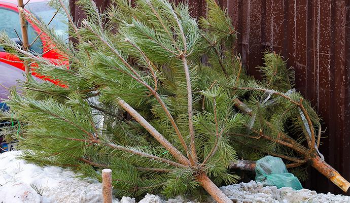 Сдать на утилизацию новогоднюю елку можно до 1 февраля