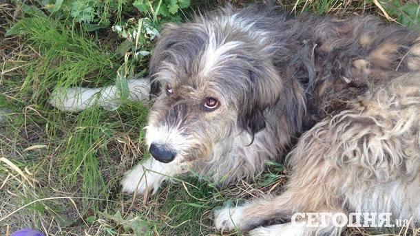 На Киевщине бойцовский пес растерзал полудомашнюю собаку