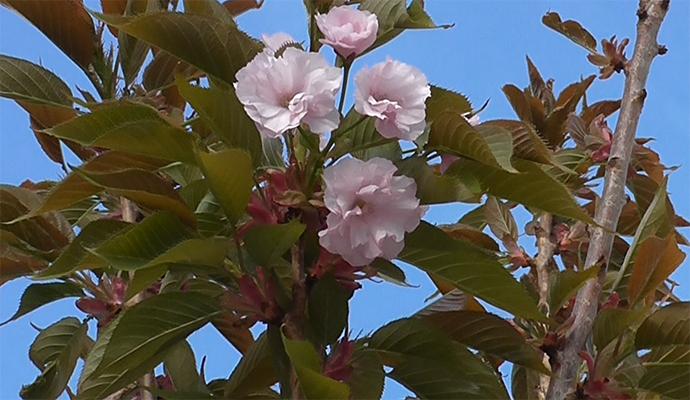 В парке КПИ начинает цвести символ Японии