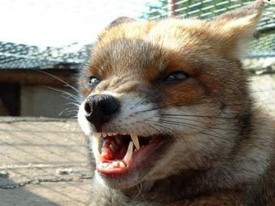 В Киеве собаки растерзали бешеную лисицу