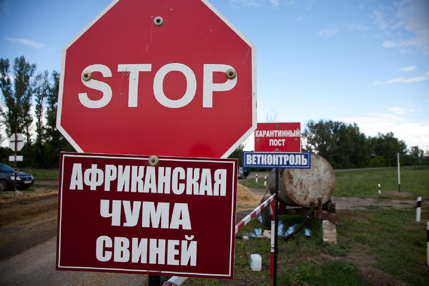 """Под Киевом обнаружили """"чумовых"""" свинок"""