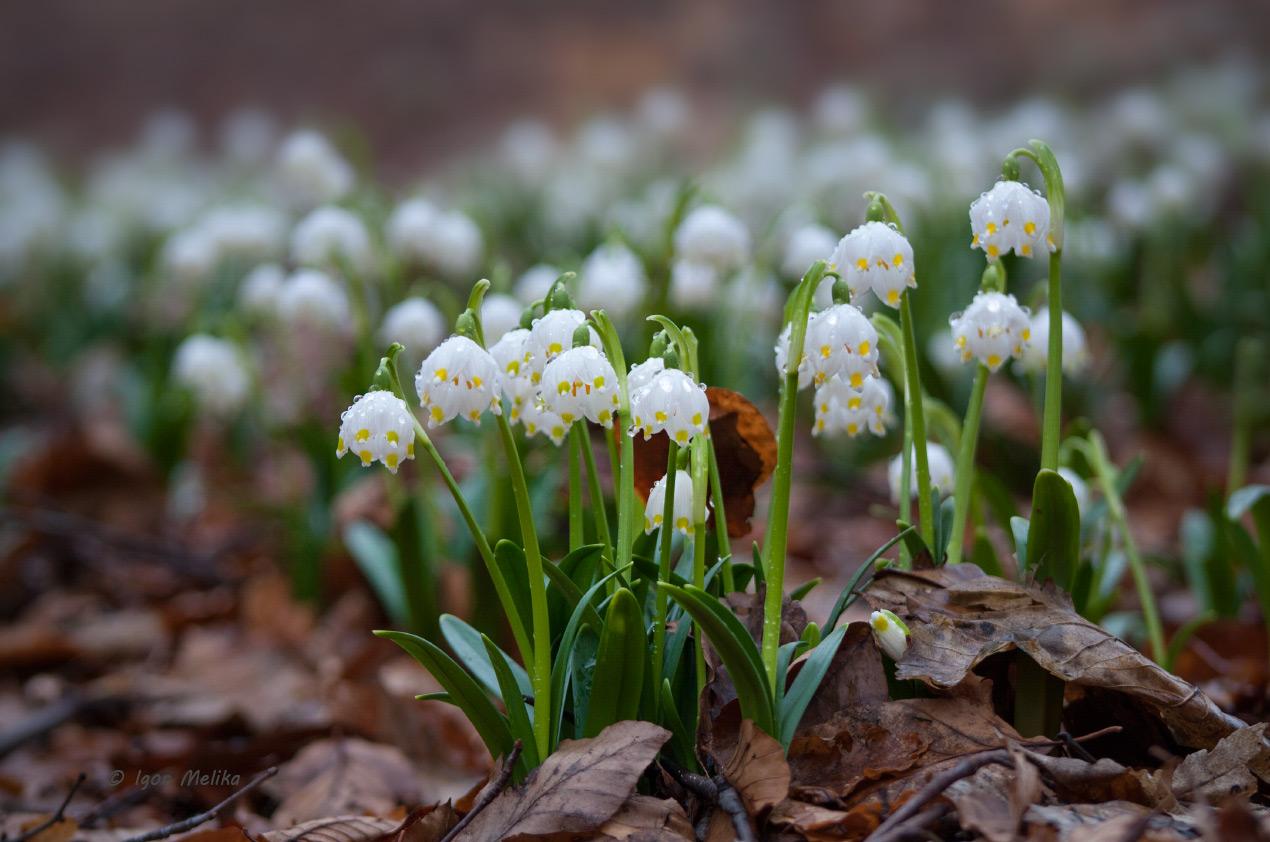 За покупку и продажу весенних цветов киевлянам грозят солидные штрафы