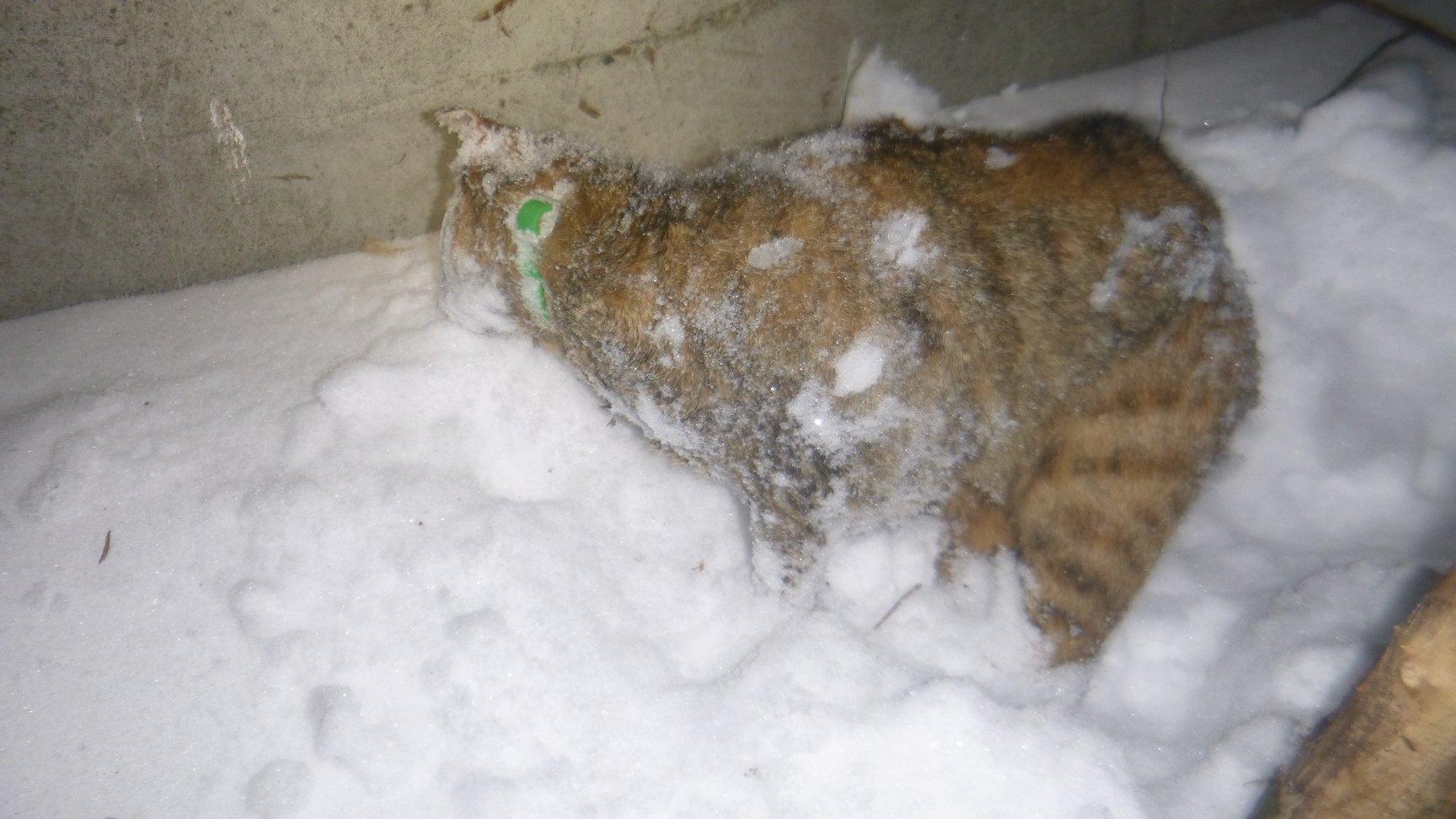 На птицефабрике под Киевом снова погибла кошка, попав в смертельную ловушку