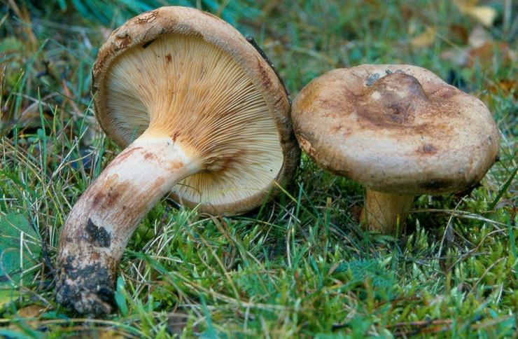 Под Киевом сын угостил мать отравленными грибами