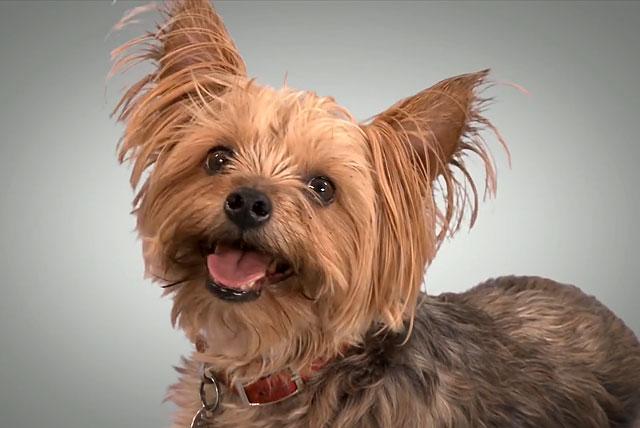 В Киеве грабители украли у пенсионерки миниатюрную собачку