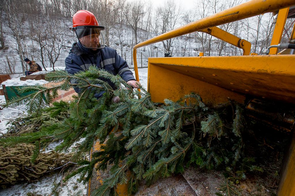 В Киеве открываются пункты по утилизации новогодних елок