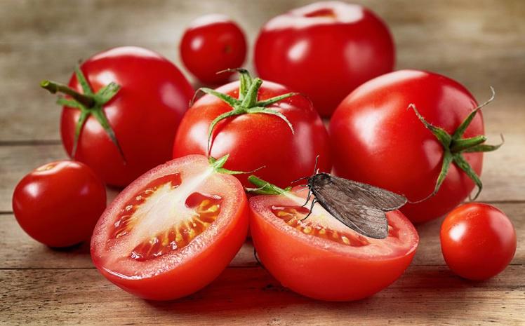 Под Киевом уничтожили опасные помидоры из Испании
