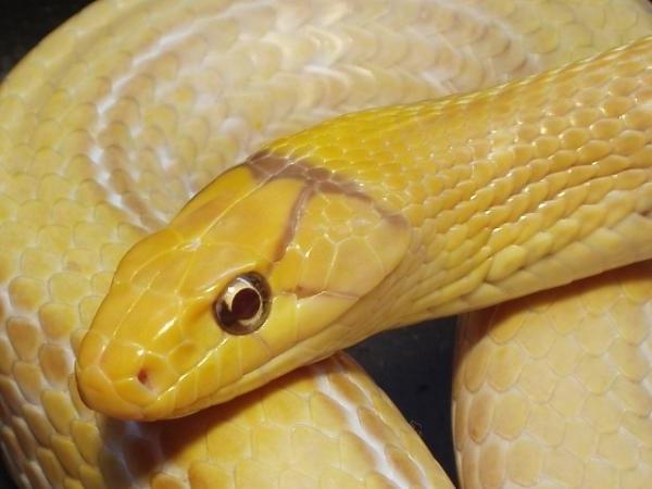 В Киеве из террариума сбежала змея и поселилась в квартире