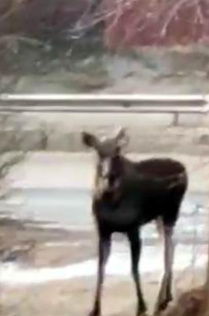 Киевлян предупреждают - по городу гуляет рогатое животное