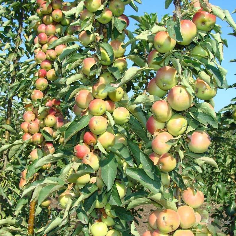 Уход за колоновидной яблоней