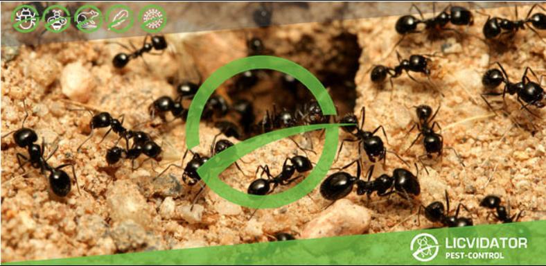 Как уничтожить муравьев на дачном участке